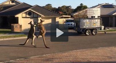 A incrível luta entre dois cangurus nas ruas da Austrália