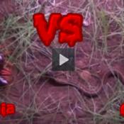 Cobra vs Lacraia gigante, quem é o mais forte?