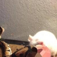 rato de laboratorio-mutante face