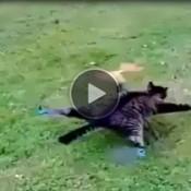 Gato empalhado vira drone!