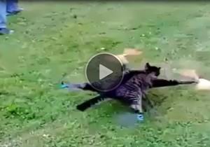 gato empalhado