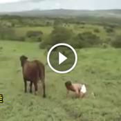 Uma vaca com um bezerro diferenciado!