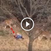 Turista entra em local proibido e é atacado por tigres