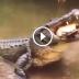 crocodilo comendo tartaruga