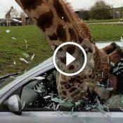O que não fazer se uma girafa enfiar a cabeça no interior do seu carro