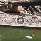 O trágico fim do pato que foi dar um mergo, nas quebrada do Leão