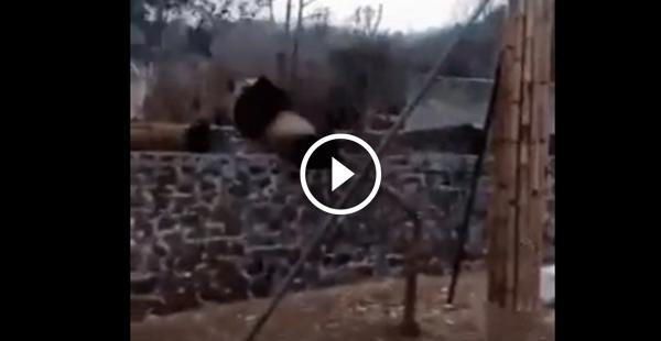 O lado ruim  de ser Panda