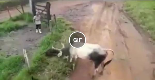 O touro deu um coalho nos doguinhos :(