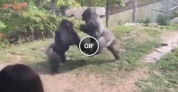 Macacada caindo no Fight