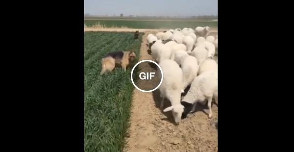 Labrador vigiando as capivaras para não comer a plantação de girassol