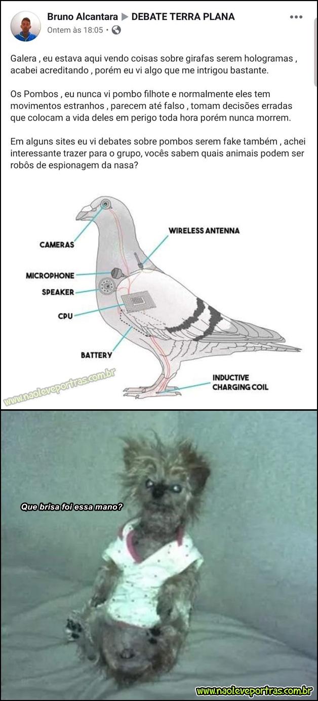 Nunca vi pombo filhote