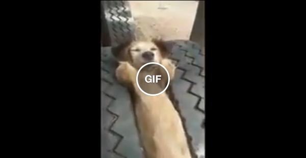 Rosivaldo, o cachorro que gosta de descansar no vão das rodas